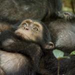 Chimpanzés : l'apprentissage de la vie sauvage