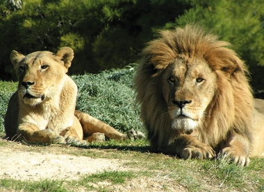 couple de lions Sigean