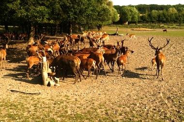 Cerfs et biches dans la plaine @ Catherine Lengellé