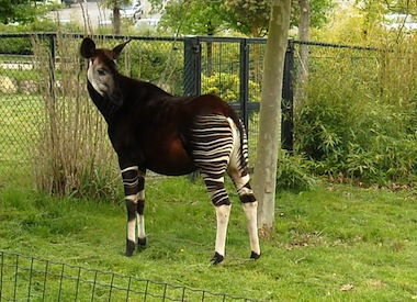 beauval okapi
