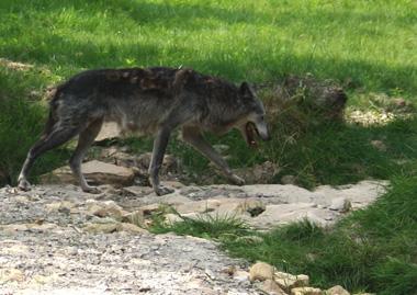 Loup parc Sainte-Croix © Pierre Talbot