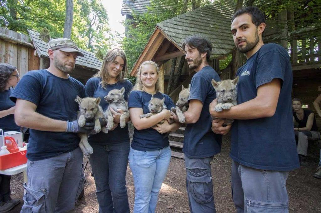 Naissance de louveauteaux gris d'Europe au Parc animalier Sainte Croix