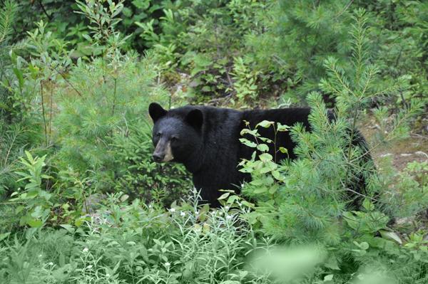 Okwari Aventures - Observation de l'ours noir