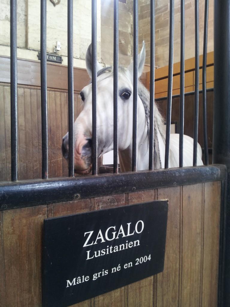 Zagalo dans son box au Musée Vivant du Cheval