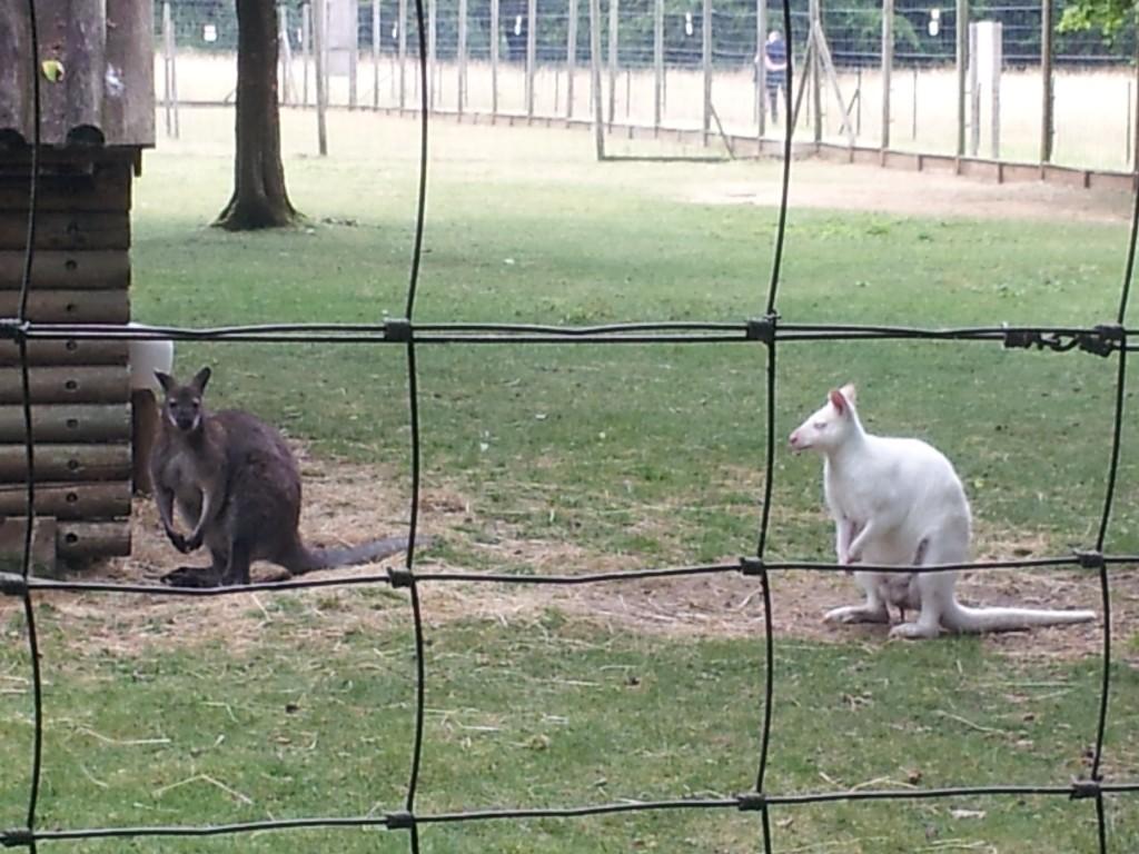Kangourou albinos dans le parc du château de Chantilly
