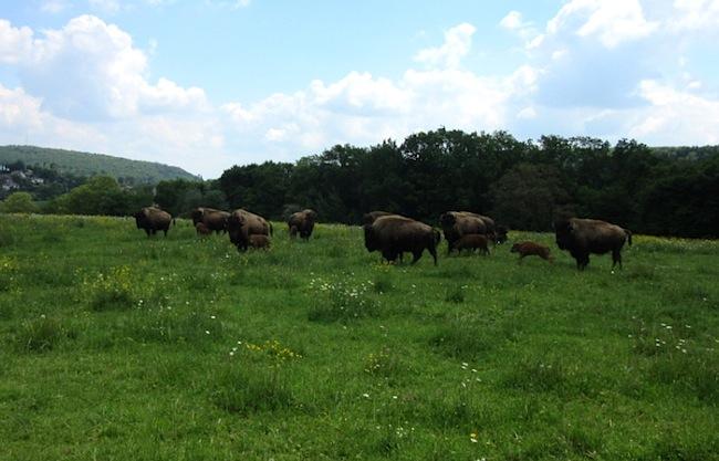 Le parc de bisons de Boncourt