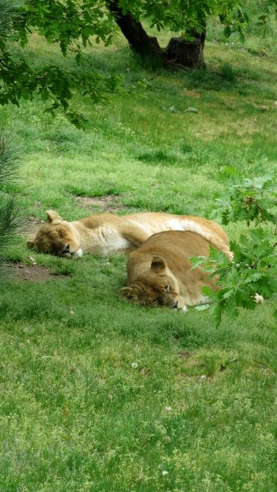 lions_parc_animalier_de_peaugres_ardeche