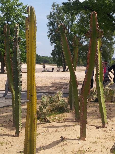 Mer_de_Sable_dunes_et_cactus