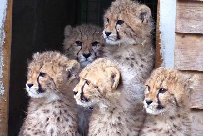 bébés guépards à Planète Sauvage