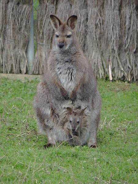 Un kangourou et son petit au zoo d'Asson