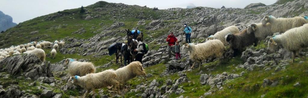 randonnée en famille à dos d'ânes au milieu des brebis en montagne