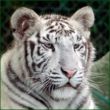 zoo_asson_bearn_tigre_blanc