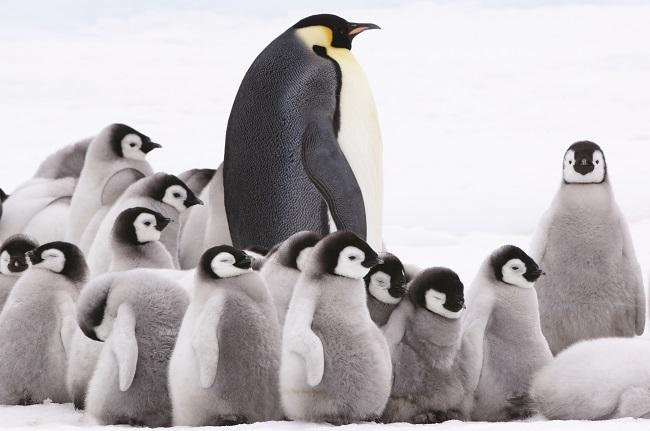 Image du film l'Empereur, manchot adulte au milieu des bébés manchots