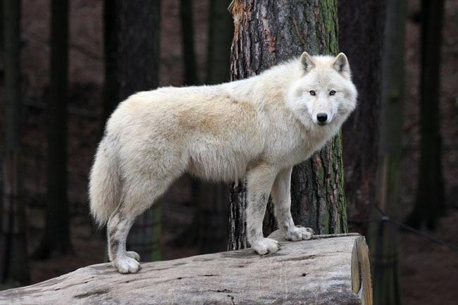 Parc animalier d'Auvergne - Loup blanc McKenzie