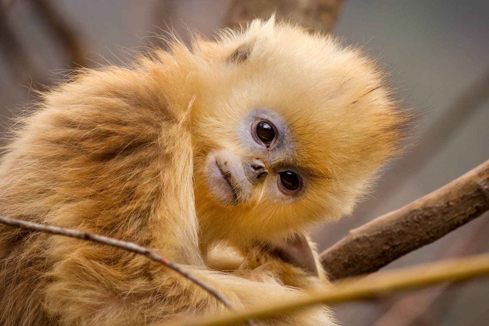 Tao Tao, petit singe doré dans Nés en Chine