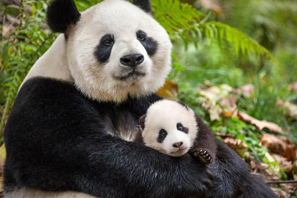 Ya Ya et Mei Mei, la maman panda et son petit, dans Nés en Chine