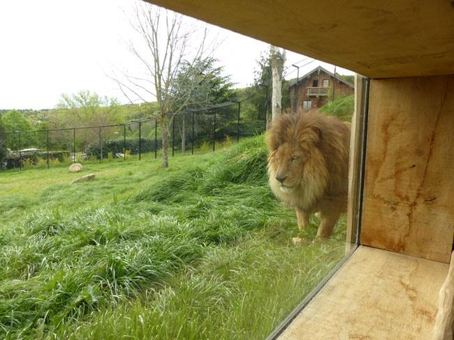 Lion vu de très près derrière paroi de verre