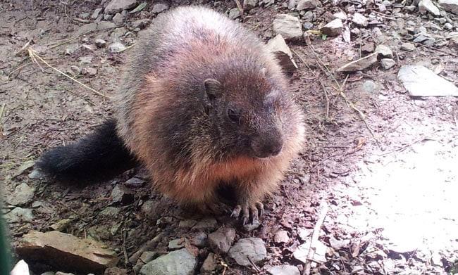Rencontre avec une marmotte à Mollo Parc