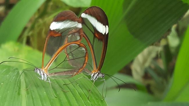 papillons aux ailes transparentes