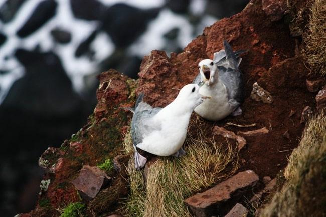 faune d'islande
