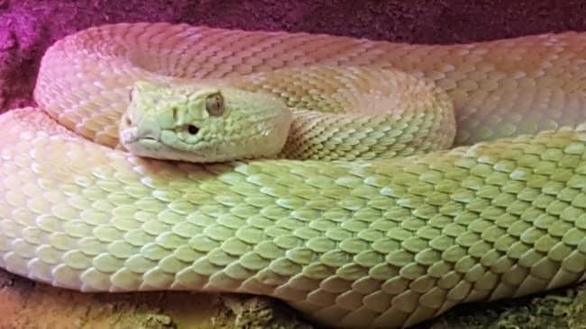 serpent vénimeux