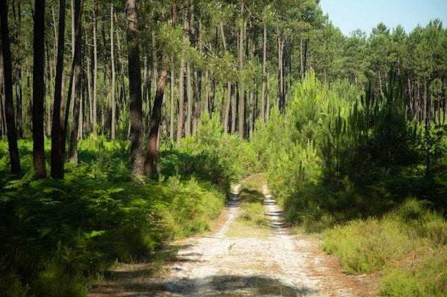 PNR Landes de Gascogne, forêt de pins