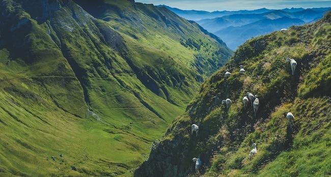 PNR des Pyrénées Ariégeoises, troupeau de brebis