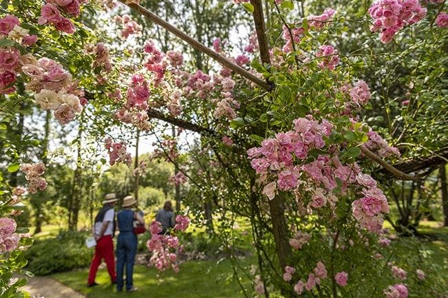 Les chemins des roses en Anjou