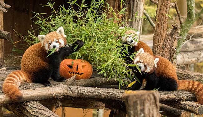 Parc Sainte Croix Halloween pandas roux